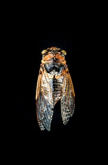 Dried cicada isolated on black background