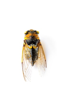 Dried cicada isolated on a white background