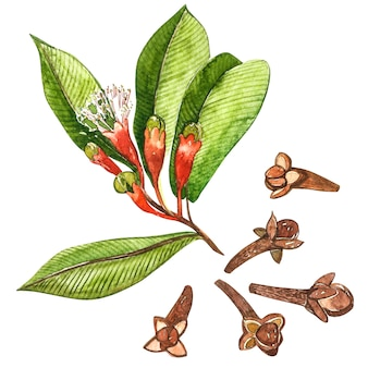 Dried cloves botanical illustration of flowers and leaves. collection of tonic and spicy plants.