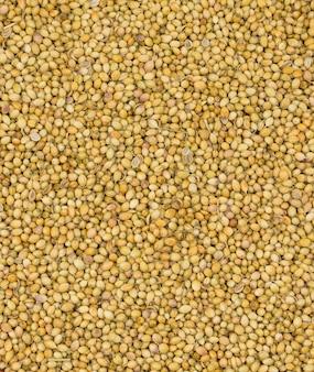 Dried coriander seeds or dhaniya