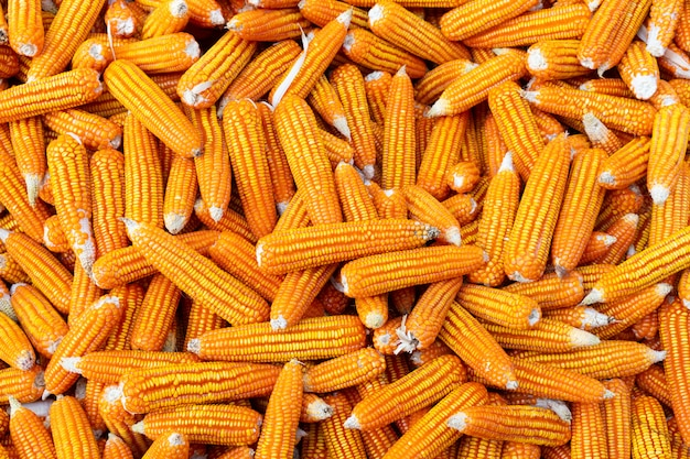 Dried corn background.
