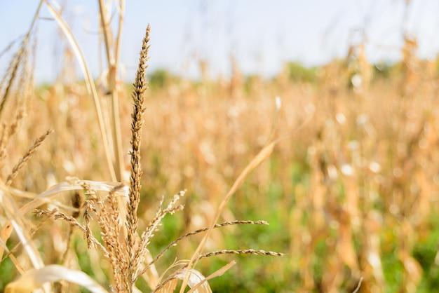 秋のフィールドで乾燥したトウモロコシの穂。