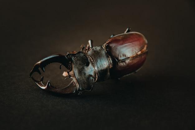 검은 배경에 말린 된 유럽 사슴 벌레
