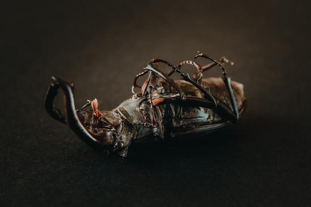 검은 배경에 말린된 유럽 사슴 벌레