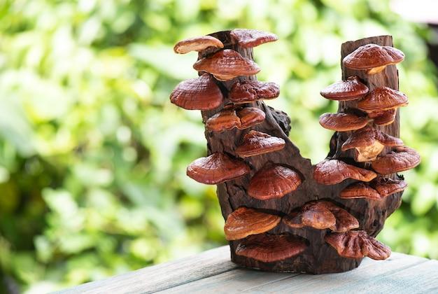 Dried ganoderma lucidum or reishi , lingzhi mushroom on natural background.