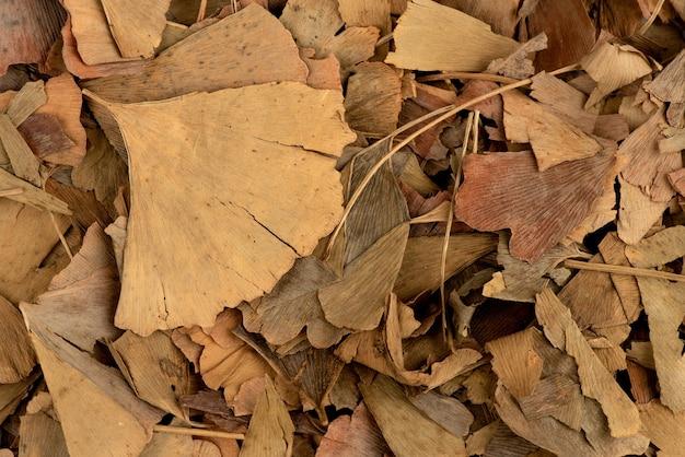 말린 된 은행 나무 biloba 잎 white.top보기, 평면 위치에 고립.