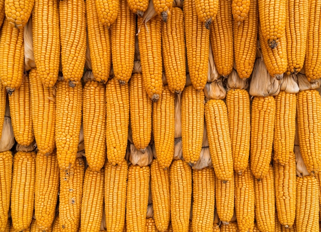 Dried golden yellow corn hanging on wall in rows, natural decoration background