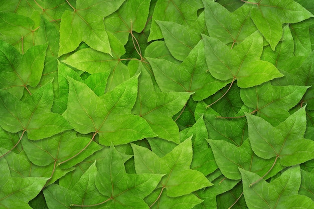 Dried green maple leaves on maple leaves background