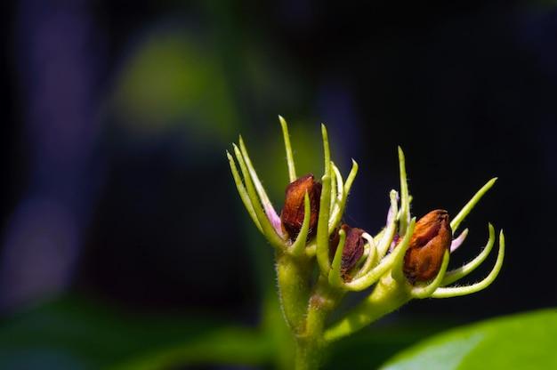 暗い背景の選択された焦点の乾燥したジャスミンの花のつぼみ