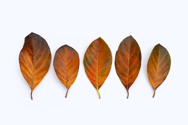 白い背景の上の乾燥した葉。落ちた黄褐色の葉。ジャックフルーツの葉