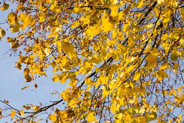 開花後の乾燥した菩提樹の種子、落ち葉のある秋の季節の木の詳細、しかし種子で穀物をぶら下げます。