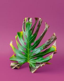 紫色の背景に乾燥したモンステラの葉。