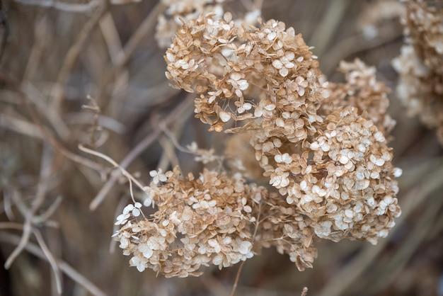 乾燥した古いアジサイ。春先。ドライフラワー。小さな金色の花。やわらかい光。