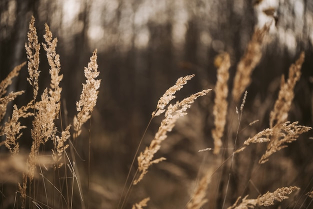 Dried pampas grass in sunlight on blurry natural surface