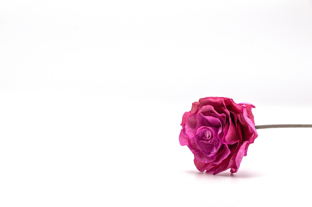 Dried pink flower isolate  on white .