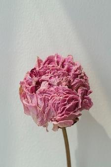회색 backgrounnd에 말린 된 분홍색 모란 꽃