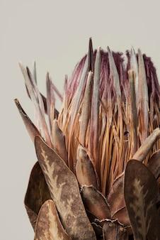 회색 배경에 잎이 있는 말린 분홍색 프로테아