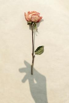ベージュの背景に手の影と乾燥したピンクのバラ