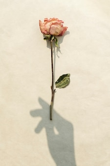 Dried pink rose with a hand shadow on a beige background