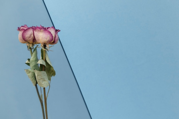 Dried pink roses on a blue background