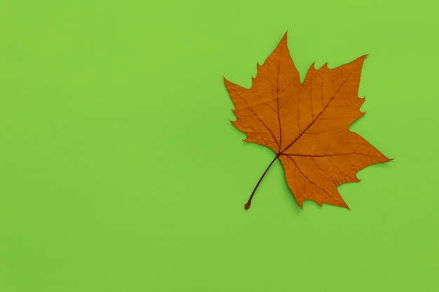Сушеный лист платана на зеленом фоне.