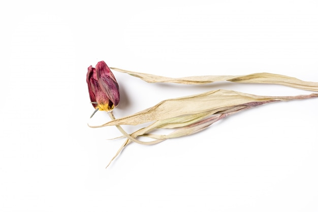 Dried red tulip flower over white background. withered flower.