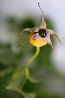 Dried rose flower bud on a plant