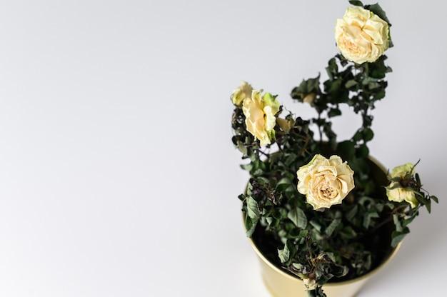 A dried rose in a gold pot