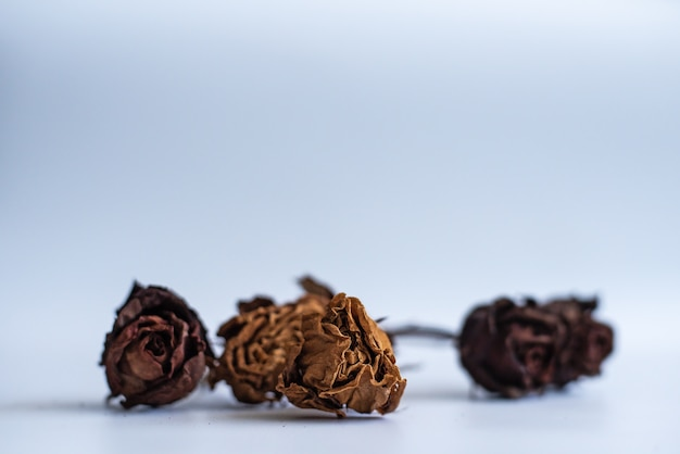 Dried rose on white background, blurry light design background