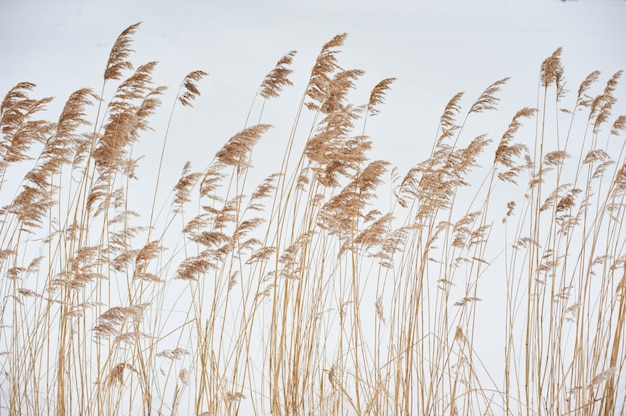 Dried stalks of reeds against the background of winter.