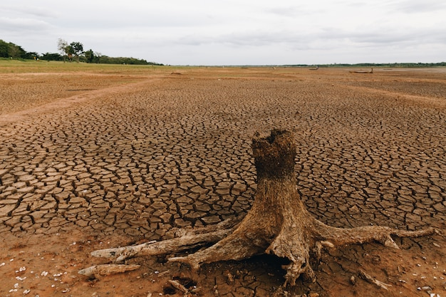 Dried stumps die on dry soil in swamps.