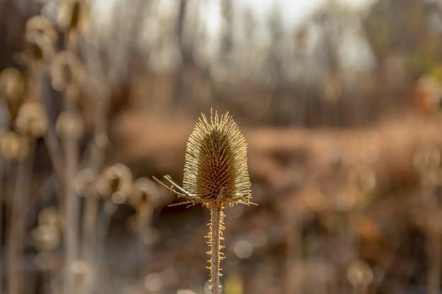 흐릿한 배경에서 파스텔 겨울 햇빛에 말린 엉겅퀴와 시골 들판