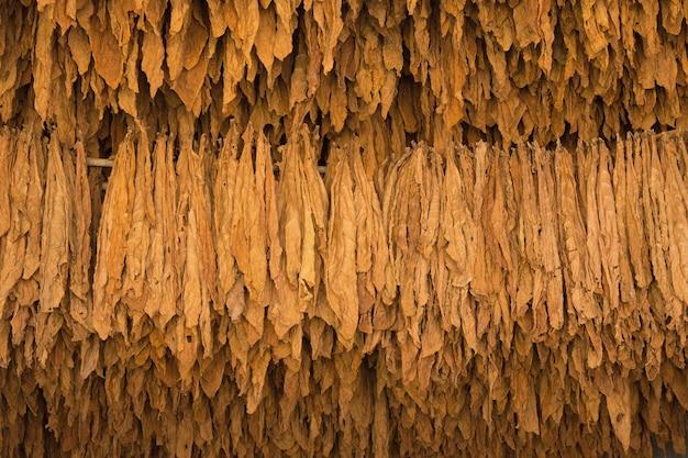 タイ北部のタバコ畑に乾燥したタバコの葉。