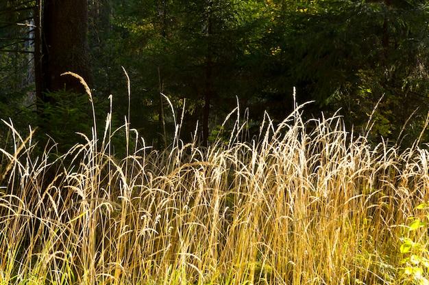 乾燥した野生のニンジンの花daucuscarotaと乾いた草、小穂ベージュがぼやけた背景にクローズアップ