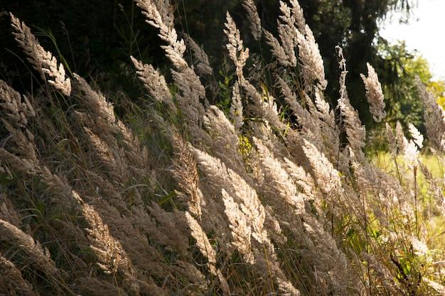 Сушеные цветы дикой моркови daucus carota вместе с сушеной травой и колосками бежевого цвета крупным планом