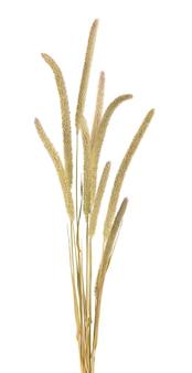乾燥した野生の小穂の花、白いスペースで隔離。小穂は野生の牧草地の植物を開花させます。