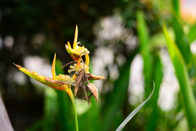 Dried yellow heliconia flower and leaves with blurred background