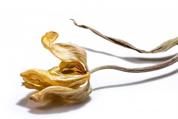 Высушенный желтый цветок тюльпана над белой предпосылкой. увядший цветок.