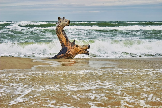 Driftwood by the sea, similar to a deer floating in the waves. storm waves in the background