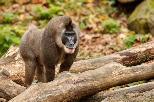 자연 서식지 지역에서 쉬고 있는 드릴 원숭이 mandrillus leucophaeus