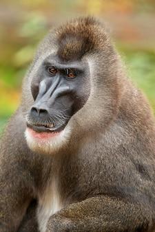 Drill scimmia mandrillus leucophaeus che riposa nell'area dell'habitat naturale