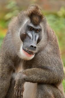 Drill monkey mandrillus leucophaeus resting in the nature habitat area
