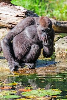 The drinking gorilla