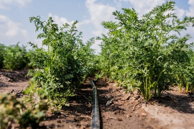 Система капельного орошения. водосберегающая система капельного орошения, используемая на молодом морковном поле.