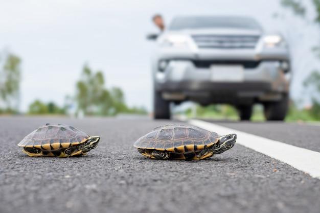 ドライバーは車を止めて、カメが道路を歩いているようにします