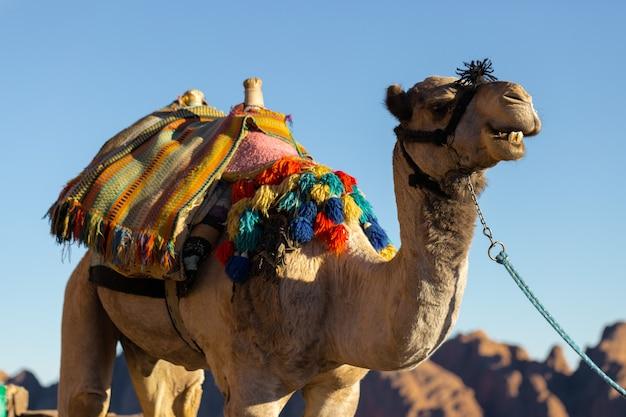 暑い砂漠、エジプト、シナイ半島の背景の砂のヒトコブラクダ
