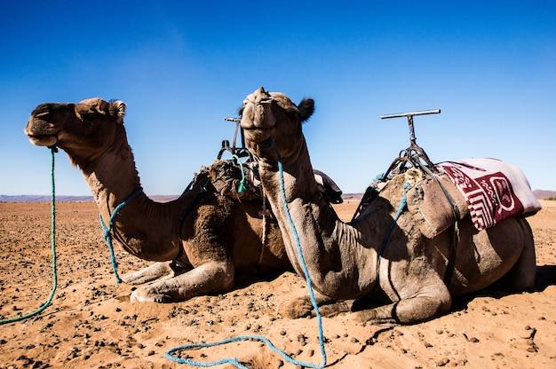 Дромадеры отдыхают в пустыне