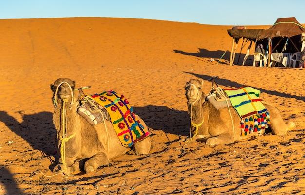 サハラ砂漠のエルグチェビ砂丘で休んでいるヒトコブラクダ。モロッコ、メルズーガ