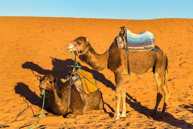 Dromedary camels resting at the erg chebbi dunes of sahara desert. merzouga, morocco