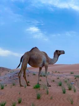 Арабский или верблюд dromedary, camelus dromedarius, одиночное млекопитающее, оман